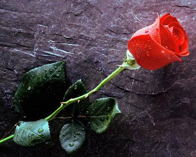 http://forumstudimahasiswa.files.wordpress.com/2010/01/mawar.jpg